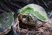 Painted turtle in wildlife — Stock Photo