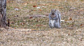Gray Squirrel running about — Foto de Stock