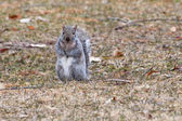 Gray Squirrel running about in soft focus — Stock Photo