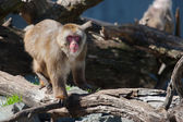 Macaque (Snow) Monkey's in soft focus — Stock Photo