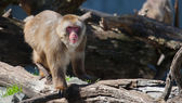 猕猴 (雪) 猴子在软焦点 — 图库照片