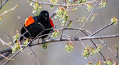 Male Red-winged Blackbird in a tree in soft focus — Stock Photo