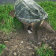 Stock Photo: Snapping turtle, chelydrs. serpentina, laying eggs