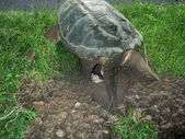 Snapping turtle, chelydra s. serpentina, laying eggs — Stock Photo