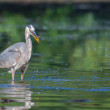 Great Blue Heron Fishing — Stock Photo #41583651