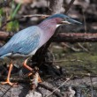 Green Heron (Butorides virescens) Stalking its Prey in soft focu — Stock Photo #41605417