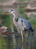 Great Blue Heron Fishing in soft focus — Stock Photo