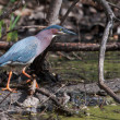 Green Heron (Butorides virescens) Stalking its Prey in soft focu — Stock Photo #41645757