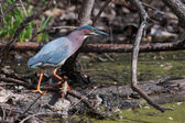 Green Heron (Butorides virescens) Stalking its Prey in soft focu — Stock Photo