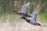 Mallards in flight in soft focus — Stock Photo