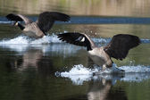Canadian goose landing on water — Stock Photo