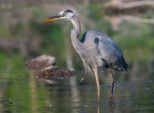 Great Blue Heron Fishing in soft focus — Foto Stock