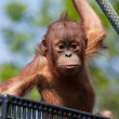 Stock Photo: Baby Orangutan
