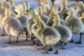 Group of goslings walking — 图库照片