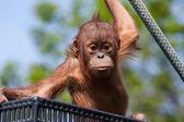 Baby Orangutan — Stock Photo