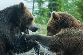 Two Grizzly (Brown) Bears Fight soft focus — Stock Photo