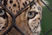 Amur Leopard looking through a fence — Foto Stock