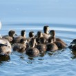 Wood Duck ducklings and Mother — Stock Photo #42357971