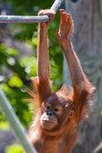 赤ちゃんオランウータン — ストック写真