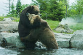Two Grizzly (Brown) Bears Fight — Stock Photo