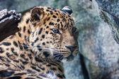 Kayanın üzerinde dinlenme amur leoparı — Stok fotoğraf