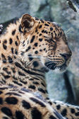 Amur Leopard resting on rock — Stock Photo