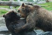 2 つのハイイログマ (ブラウン) 熊の戦い — ストック写真