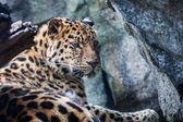Leopardo de amur descansando sobre roca — Foto de Stock