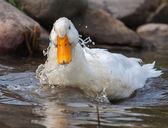 White duck splashing — Stockfoto