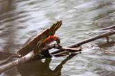 Pintado Asolear la tortuga — Foto de Stock