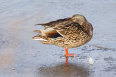 Female Mallard duck standing on ice — Stockfoto