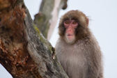 Macaque (Snow) Monkey's — ストック写真