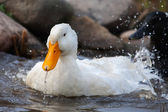 White duck splashing — ストック写真
