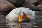 White duck splashing — Foto Stock
