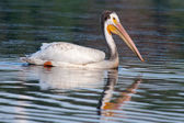 White Pelican (Pelecanus erythrorhynchos) — Stock Photo