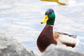 Closeup of a drake, mallard, standing — Foto Stock