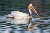 White Pelican (Pelecanus erythrorhynchos) — Foto Stock