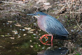 Green Heron (Butorides virescens virescens) — Stock Photo