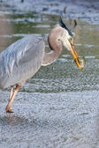 Great Blue Heron Fishing — Stockfoto