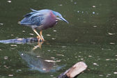 Green Heron hunting — Stock Photo