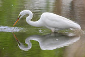 Great White Egret fishing — Stock Photo