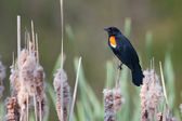 Male Red-winged Blackbird in a cat-tail — Stock Photo