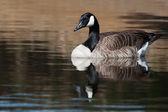 Canadian Goose swimming — Stock Photo