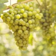Ripening grape - Stock Photo
