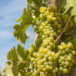 Ripening grape — Stock Photo #12281596