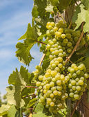 Ripening grape — Stock Photo