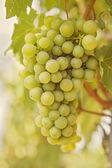 Ripening grape — Stock Photo