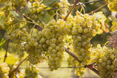 Ripening green grape — Stock Photo
