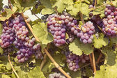 Bunch of red grapes — Stock Photo
