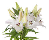 White lily flowers — Stock Photo